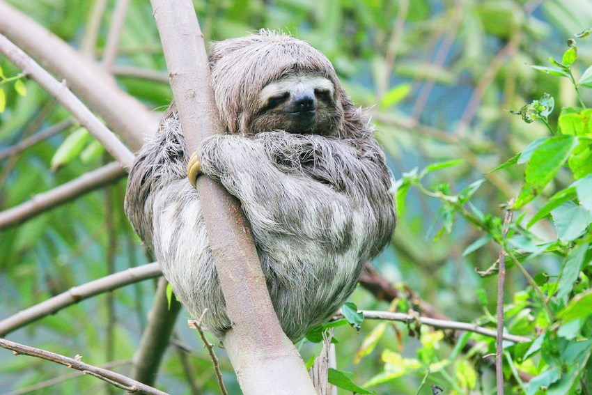 Brown-throated three-toed sloth in tree at REGUA, credit Lee Dingain