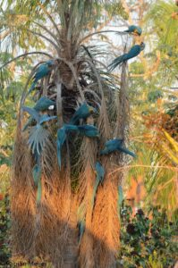 Blue-throated Macaws foraging on Totaí Palm at Barba Azul East, Bolivia. Credit Fabian Meijer