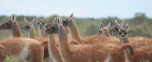 Guanaco at Estancia la Esperanca, Patagonia, Argentina, credit Lee Dingain