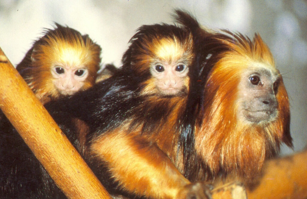 Golden-Headed Lion Tamarin family