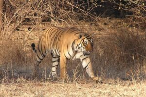 Bengal Tiger photographed at Ranthambore Reserve in India. Credit Maria Allen