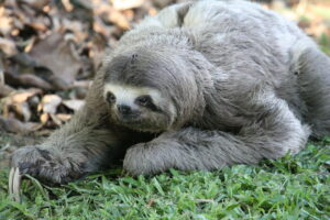 Brown-Throated Three-Toed Sloth rescued and released at REGUA, Brazil. Credit Alan Martin