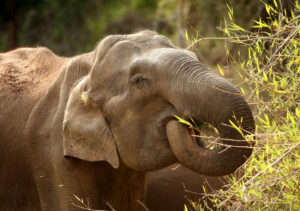 A wild Asian elephant eats bamboo in the Nagarhole National Park, southern India. Credit David Bebber