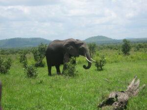 African Elephants at Mikumi National Park. Credit Ruth Canning. Tanzania