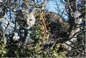 Geoffroy's Cat stares from a tree