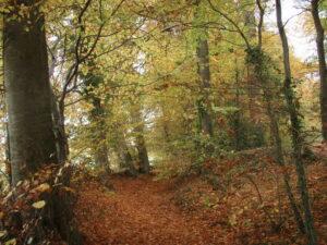 Kites Hill UK Beech Woodland