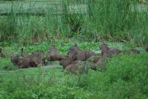 Capybara group, REGUA, Brazil. Credit Chris Morris