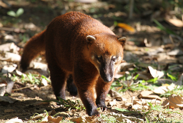 south american coati species in world land trust reserves