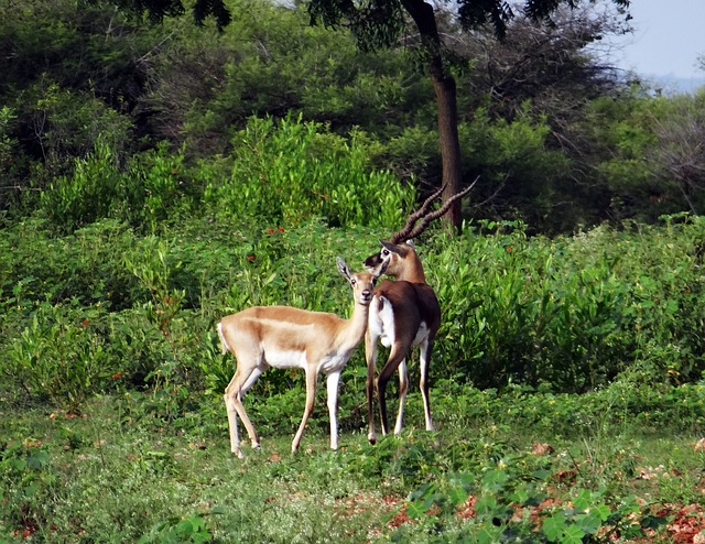 A pair of Blackbuck at Rannebennur, Karnataka, India