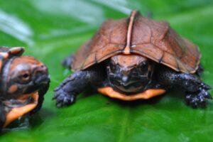 Keeled Box Turtle Baby