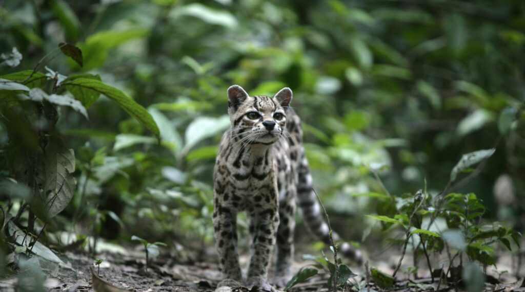 margay  species in world land trust reserves