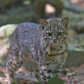 Geoffroy's Cat portrait