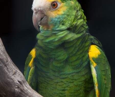 Yellow-shouldered Parrot.