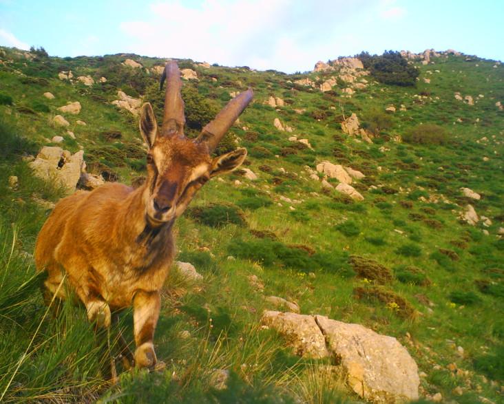 bezoar-goat-armenia