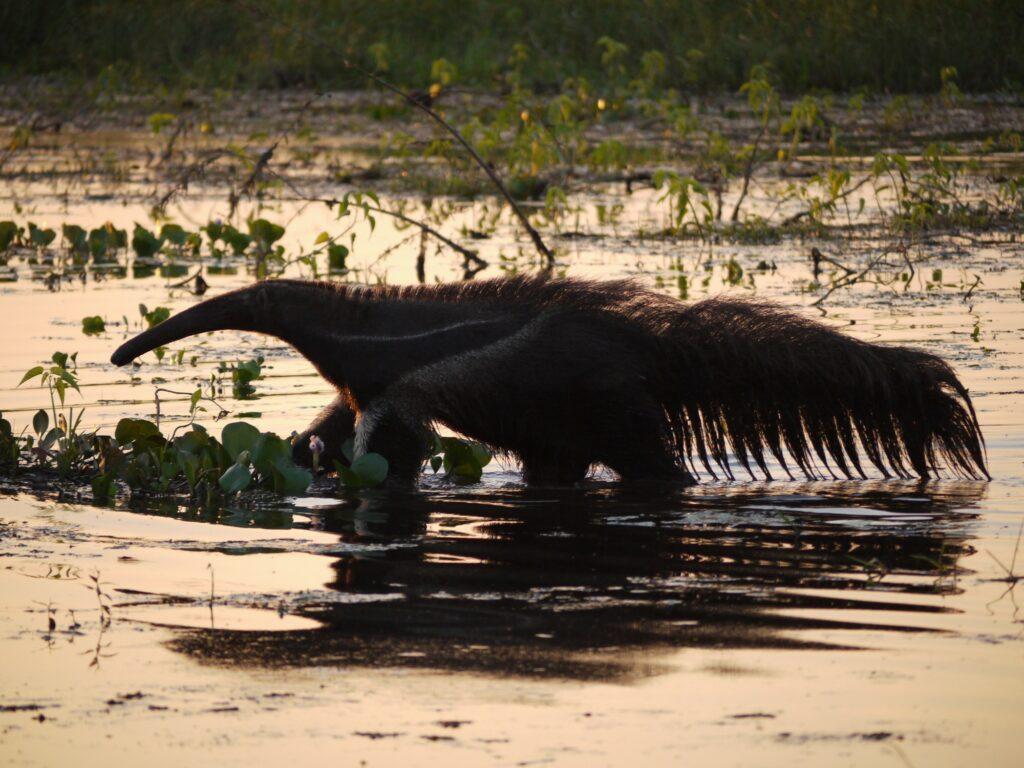 giant-anteater-bolivia
