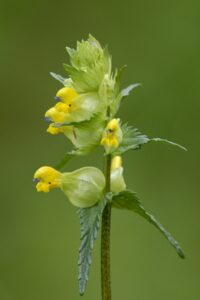Yellow Rattle (northeastwildlife.co.uk)