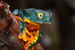 Fringed Leaf Frog, Nangaritza Reserve