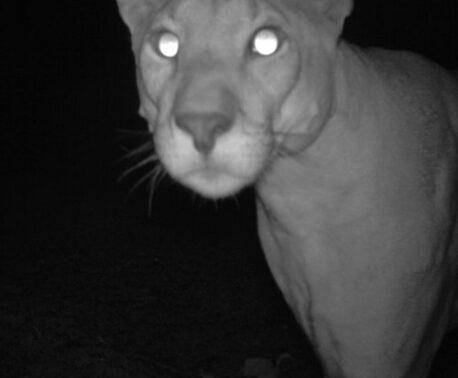 Puma, Argentina