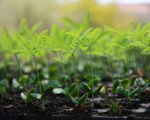 Seedlings in nursery