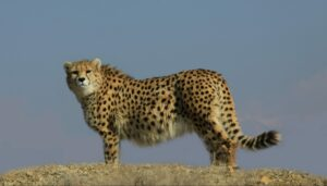 Asiatic Cheetah, Iranian Cheetah Society, credit M Eslani