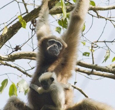 Western Hoolock Gibbon