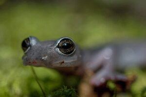 Big-footed Salamander