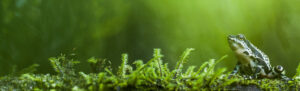 Atelopus wampucrum. © Jaime Garcia-Dominguez