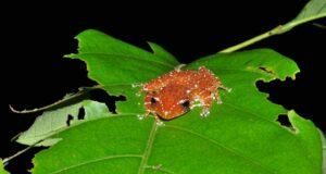 Spotted Tree Frog (Nyctixalus pictus) Malaysian Borneo. Credit HUTAN/Eddie Ahmad