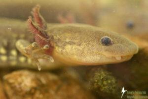 Axolotl, Mexico, Sierra Gorda, credit Roberto Pedraza Ruiz