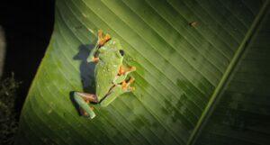 Black-eyed Leaf Frog, Guatemala. Credit Ivan Castro