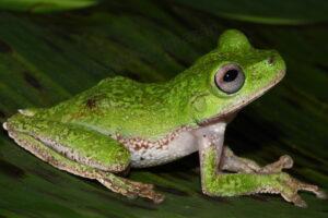 Chinamococh Stream Frog Sierra Santa Cruz, Guatemala, Credit Carlos Vásquez Almazán
