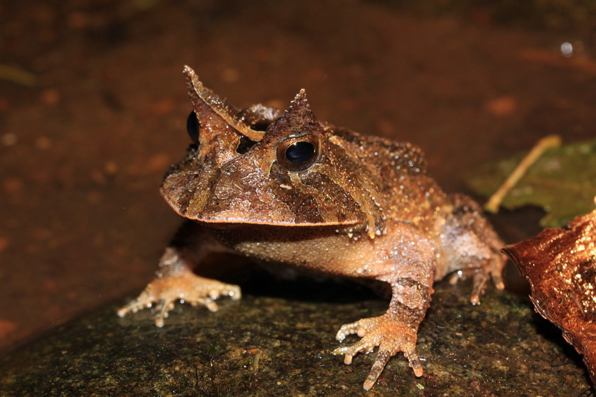 Smooth Horned Frog at REGUA, Brazil. Three-quarters view. Credit Chris Knowles.