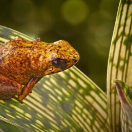 Diablito poison frog. Credit Shutterstock.