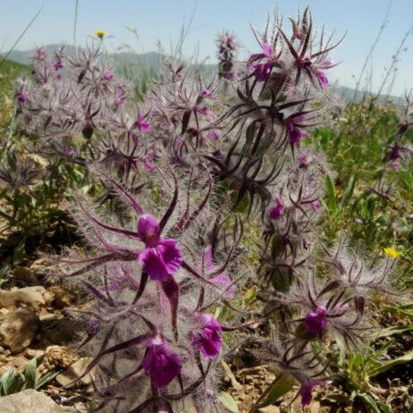 Stachis lavandulifolia, Armenia, Credit FPWC