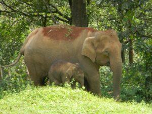 Elephant and calf in Tirunelli-Kudrakote Corridor, India. Credit Ramith @ WTI