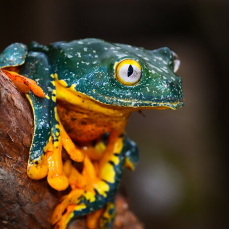 Frog at Nangaritza. Credit Trotsky Riera Vite, NCI
