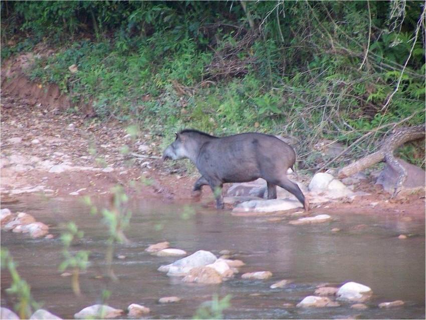 Tapir in EL Pantanoso, Argentina, Credit Francesco Rocca,