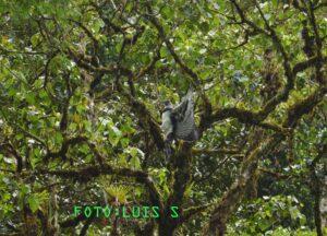 Harpy Eagle at Narupa, Ecuador. Credit Luis Salagaje
