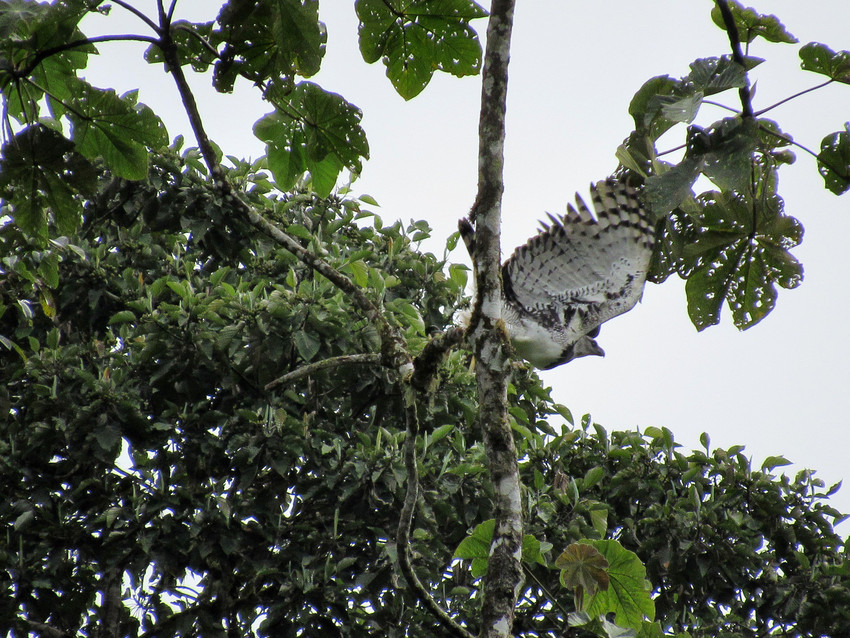 Harpy Eagle taking off, Narupa, Ecuador. Credit Geronimo Tanguila/Jocotoco