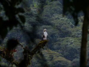 Black and Chestnut Eagle seen through branches, Ecuador. Credit Ecominga
