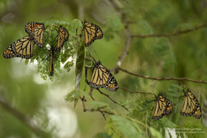 Group of Monarch Butterflies resting in an acacia, Mexico. Credit Roberto Pedraza Ruiz