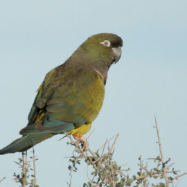 Burrowing Parrot, Argentina. Credit Lee Dingain