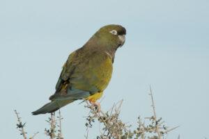 Burrowing Parrot, Argentina. Credit Lee Dingain