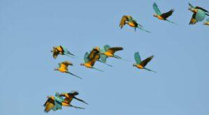 Blue-throated Macaw, Bolivia. Credit Sebastian Herzog/Asociacion Armonia