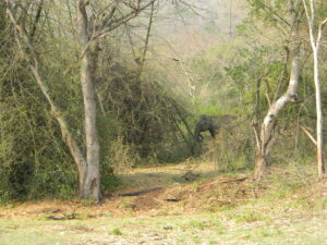 Adult female elephant near the Mudahalli corridor, India. Credit WTI
