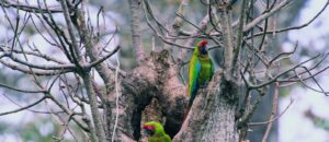 Great Green Macaws in Cerro Blanco Protected Forest, Ecuador, Credit Pete Oxford