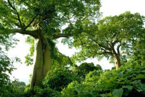 Ceiba Trees at Cerro Blanco, Ecuador. Credit ProBosque