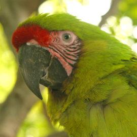 Great Green Macaw, Ecuador. Credit Doug Wechsler