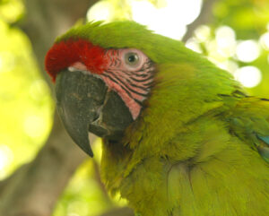 Great Green Macaw, Ecuador. Credit Doug Wechsler