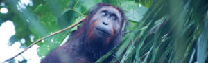 Young male orangutan being monitored by Hutan